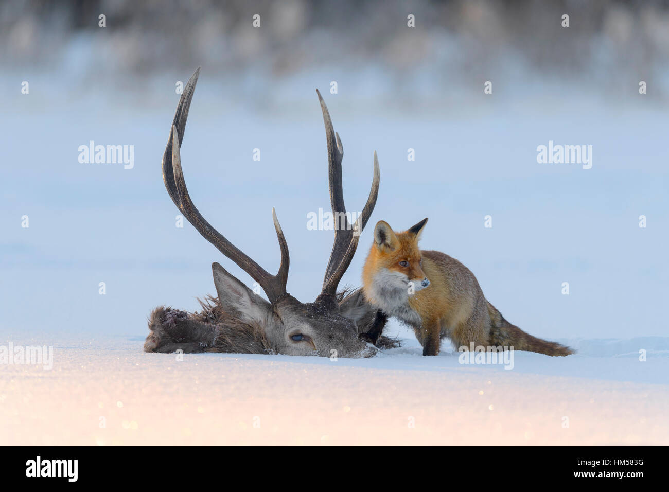 Red fox (Vulpes vulpes), by the carcass of a red deer that fell into the ice, frozen lake, Bohemian Forest, Czech - Stock Image