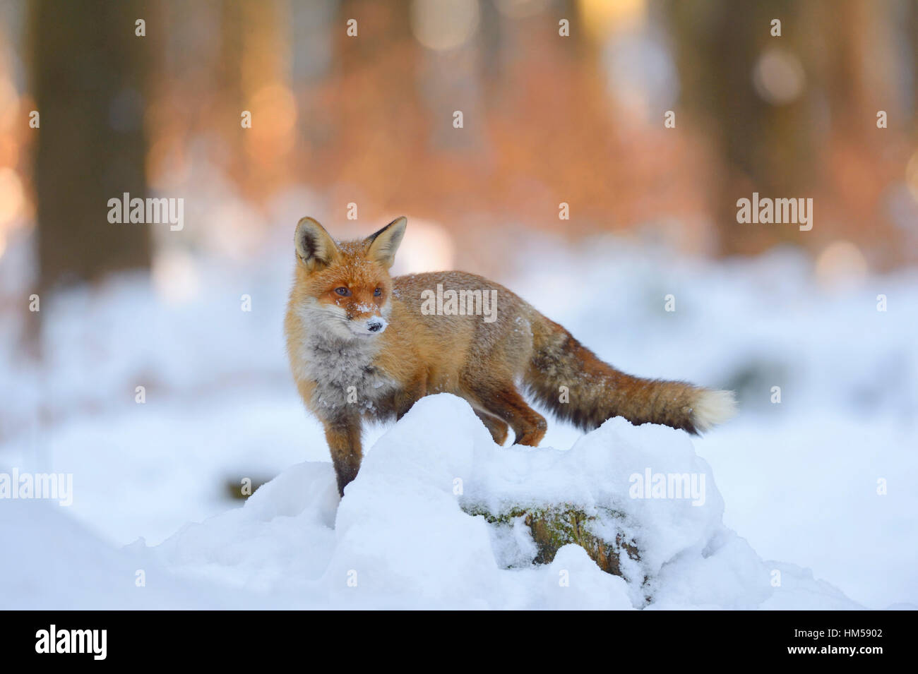 Red fox (Vulpes vulpes) standing on a snow-covered tree trunk, sunset light, Bohemian Forest, Czech Republic - Stock Image