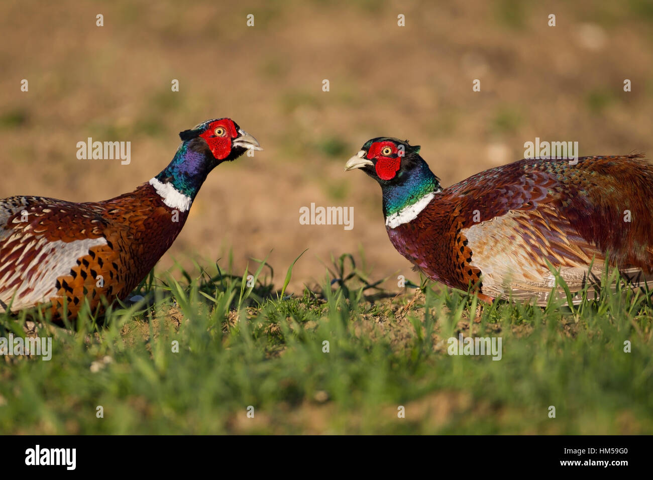 Pheasants (Phasianus colchicus), two male birds squaring up to each other, Suffolk, England, United Kingdom - Stock Image