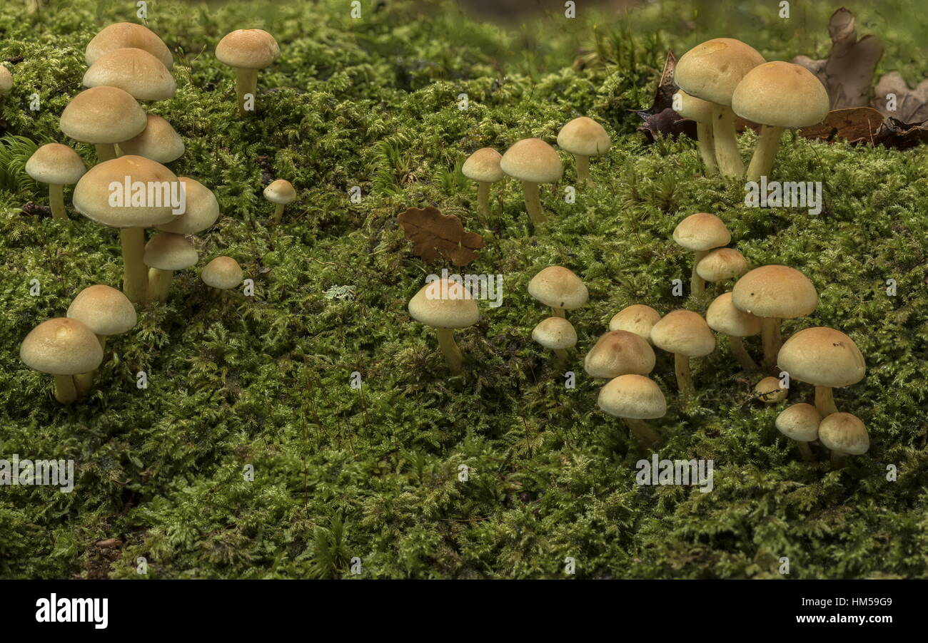 Sulphur Tuft fungi, Hypholoma fasciculare group on mossy deciduous log. New Forest. - Stock Image
