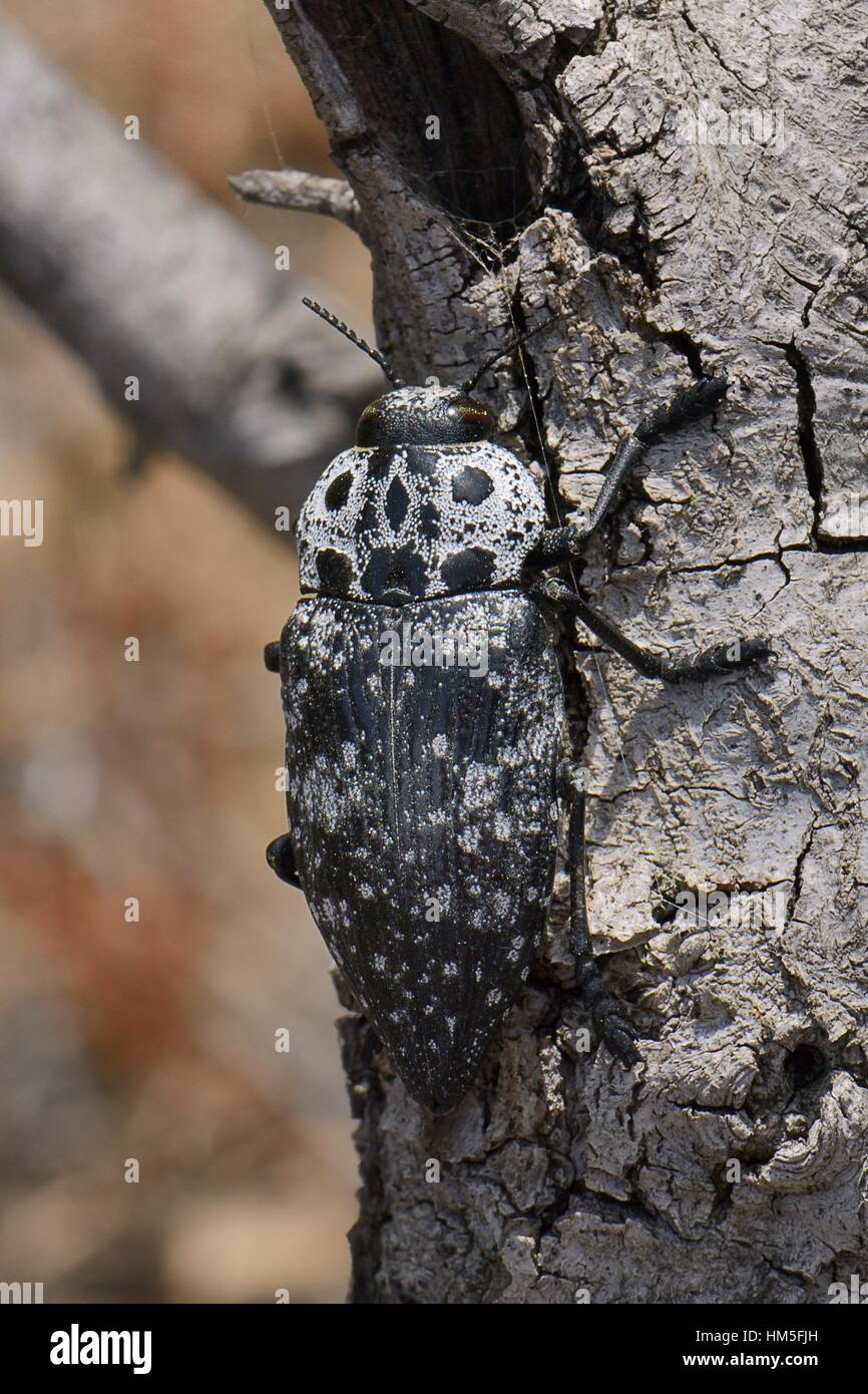 Mediterranean flatheaded woodborer / Jewel beetle (Capnodis cariosa / tenebrionis),  a pest of fruit trees well - Stock Image