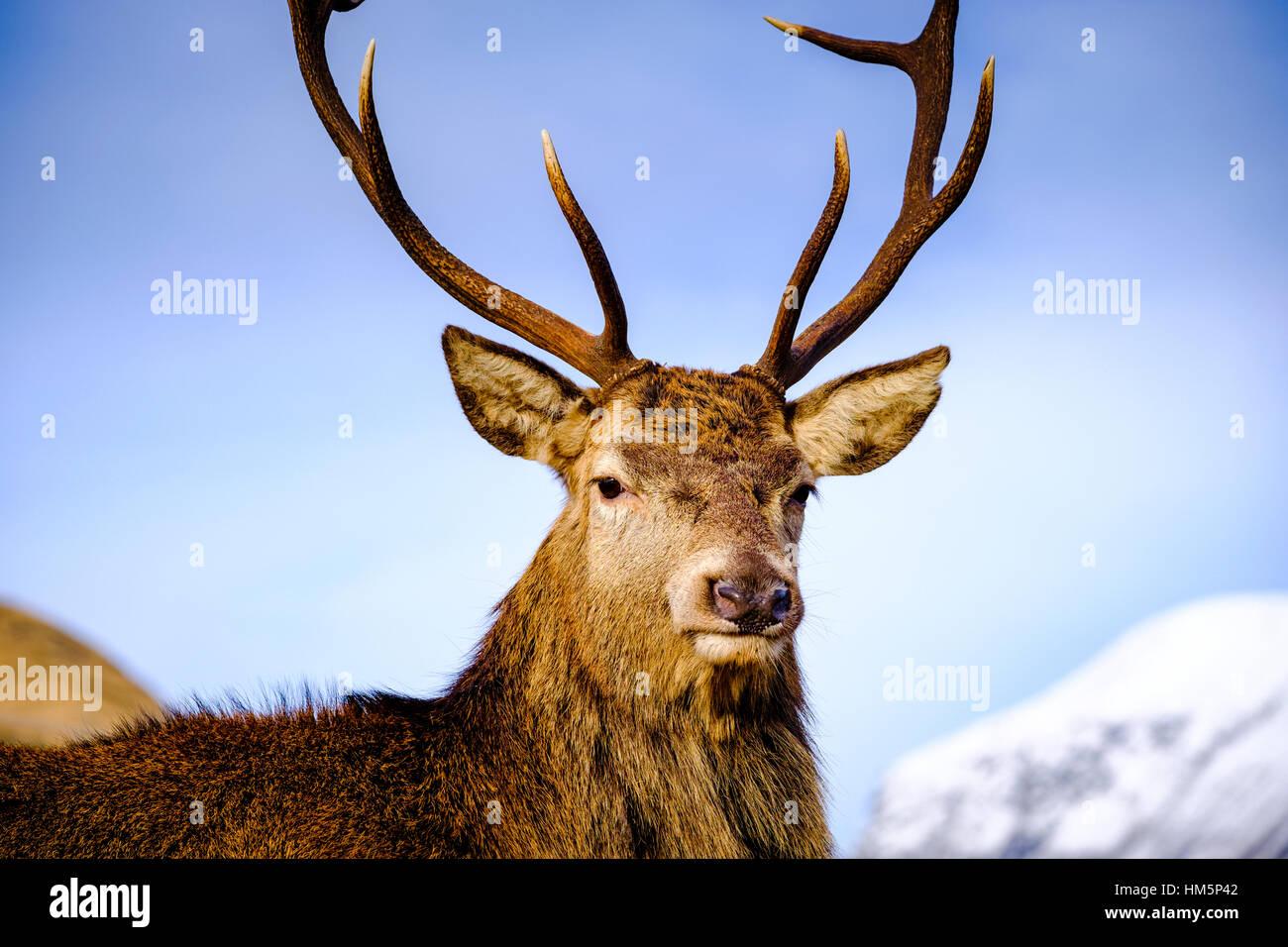 Red Deer in Glen Etive, Highlands of  Scotland in winter - Stock Image