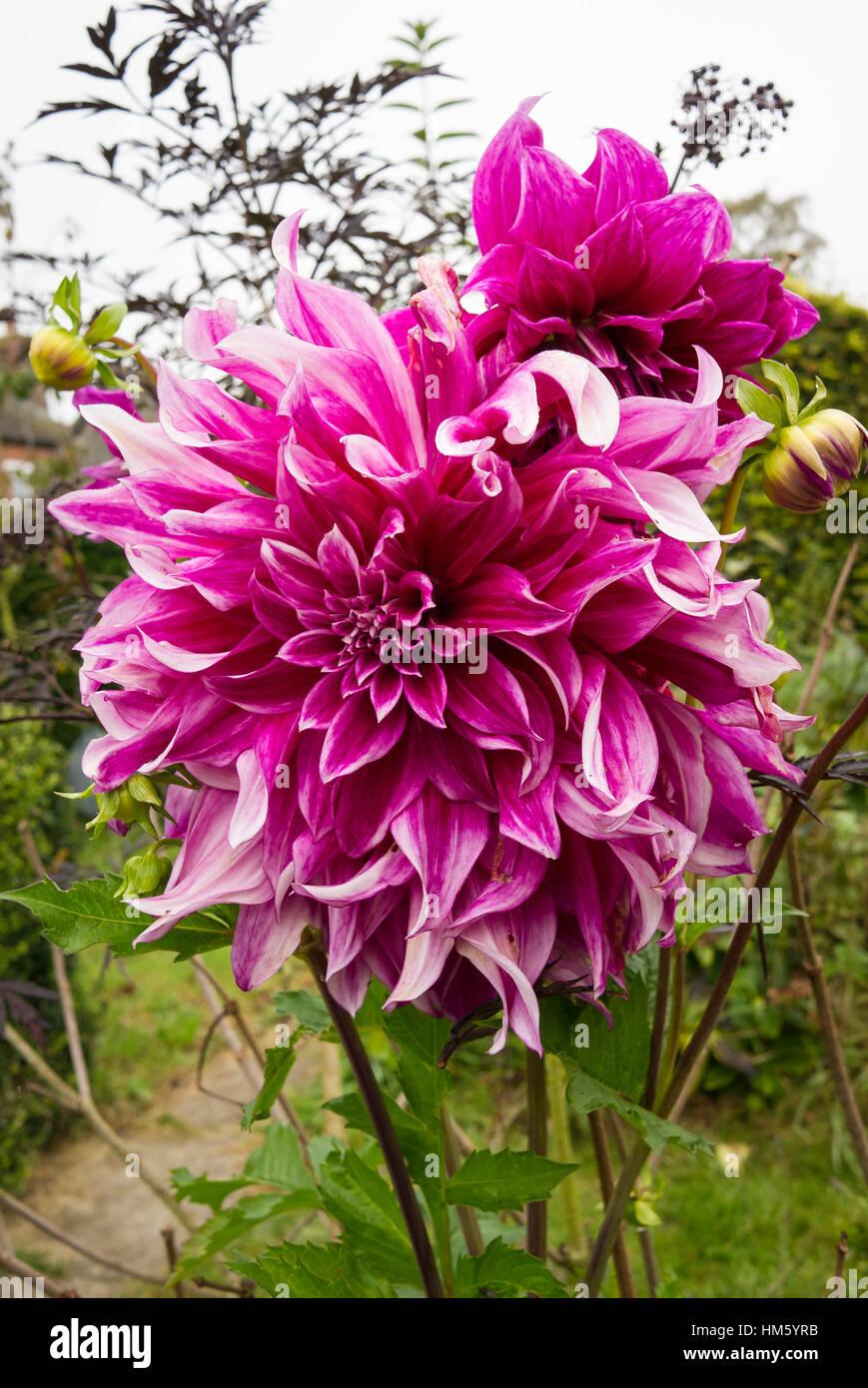 Dahlia Grande Finale flowering in October in the UK - Stock Image