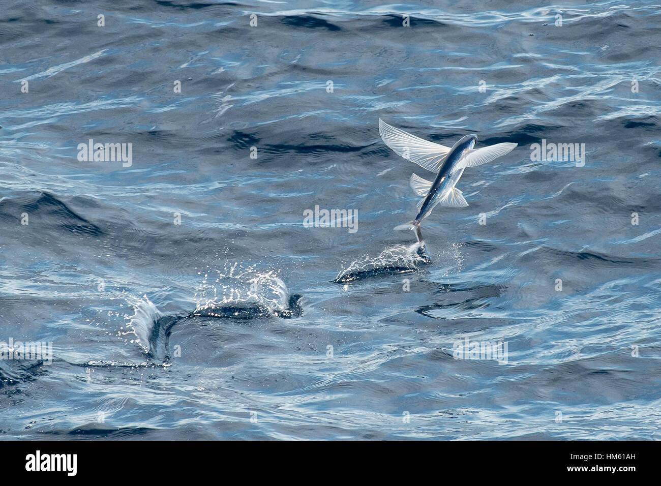 Flying Fish Species taking off, scientific name unknown, several hundred miles off Mauritania, Africa, Atlantic - Stock Image