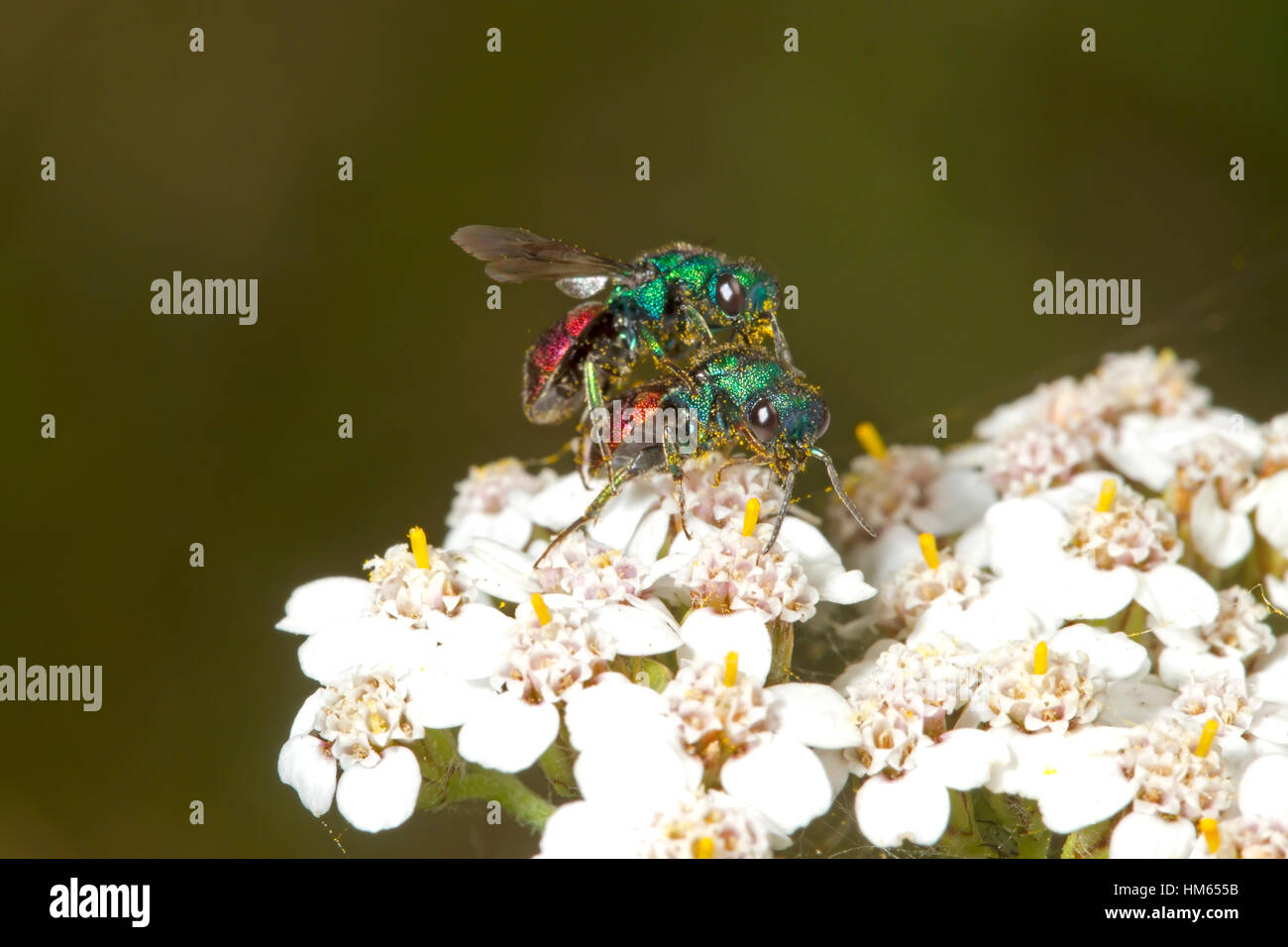 Jewel or Ruby-tailed Wasp - Hedychrum niemelai - male - Stock Image