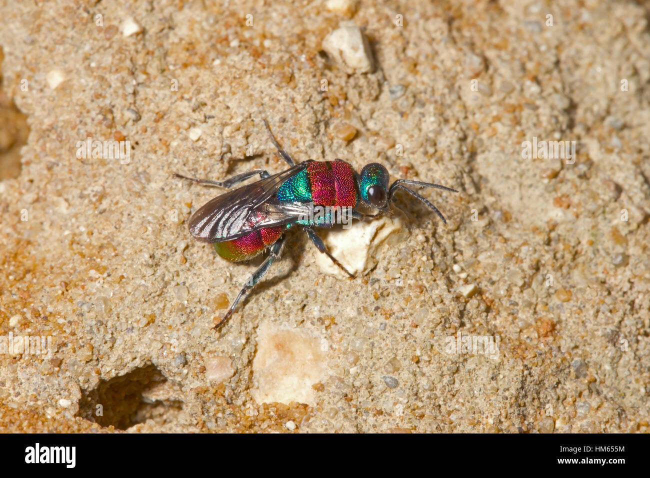 Jewel or Ruby-tailed Wasp - Hedychrum niemelai - female near burrow of Cerceris arenaria, one of its host species - Stock Image