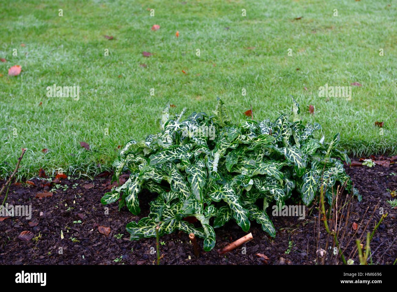 arum italicum subsp italicum marmoratum arum italicum pictum Green White Plant variegated Foliage Leaves Perennials - Stock Image