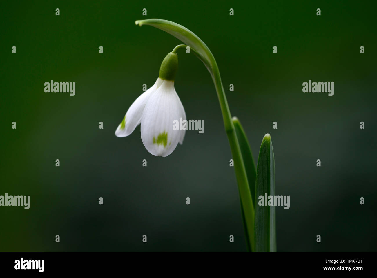 Galanthus David Baker green markings snowdrop white flowers flower bulbs snowdrops spring flowering collectors rare - Stock Image