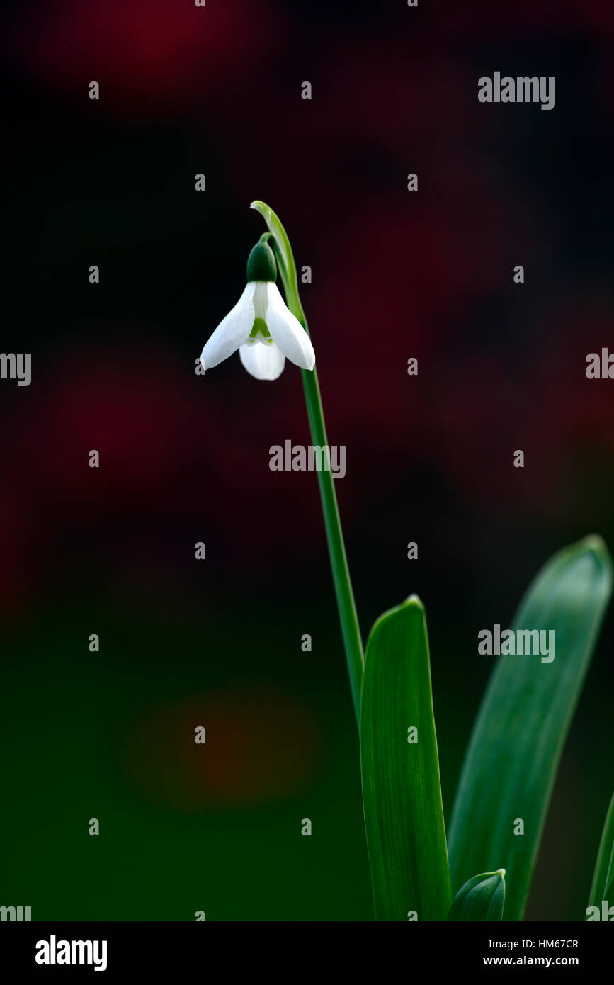 Galanthus elwesii hiemalis barnes group snowdrop white flowers galanthus elwesii hiemalis barnes group snowdrop white flowers flower bulbs snowdrops spring flowering collectors rare rm floral mightylinksfo