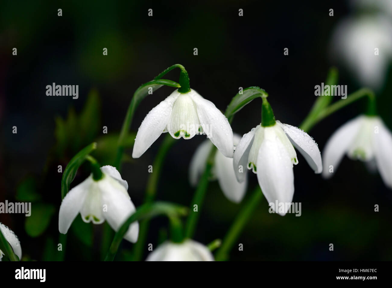 Galanthus Lady Beatrix Stanley Double Snowdrop White Flowers Flower