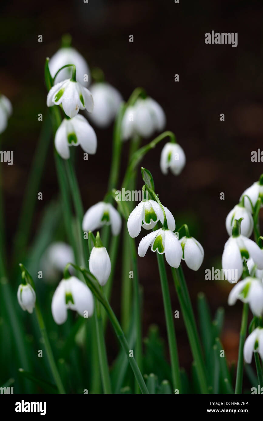 Galanthus Lavinia Double Snowdrops White Flowers Flower Bulbs Stock