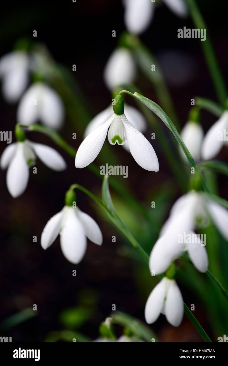 Galanthus Nivalis Melvillei Snowdrop White Flowers Flower Bulbs