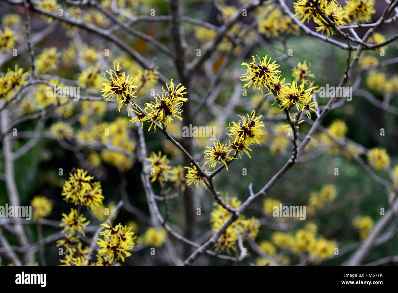Hamamelis Mollis Chinese Witch Hazel Winter Yellow Hazels Scented