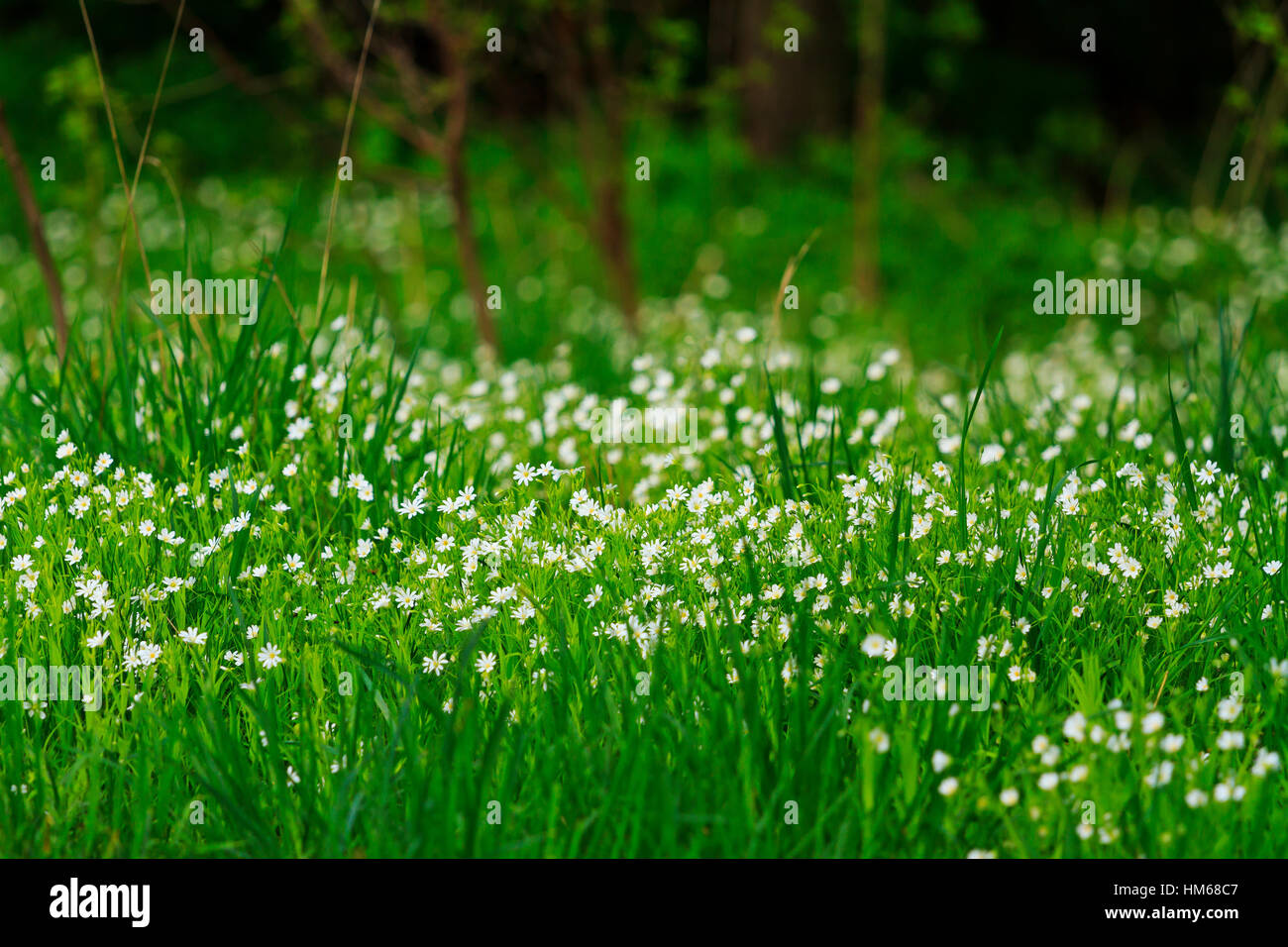 First Spring White Flowers Among Lush Green Grass Stock Photo