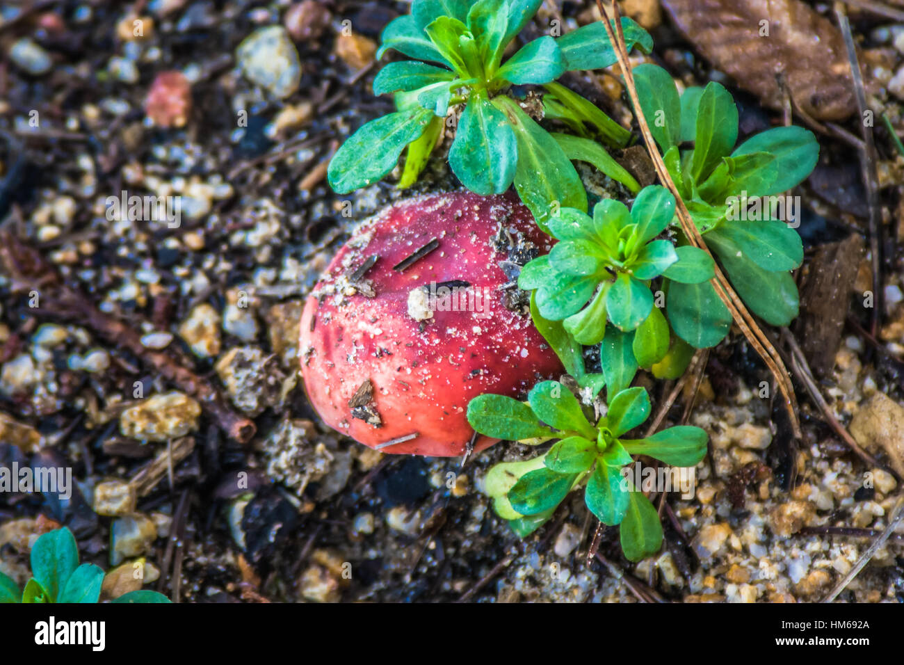 Fly Agaric - Stock Image