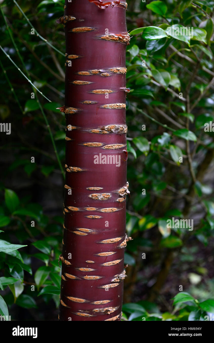 Flowering Cherry Tree Bark High Resolution Stock Photography And Images Alamy
