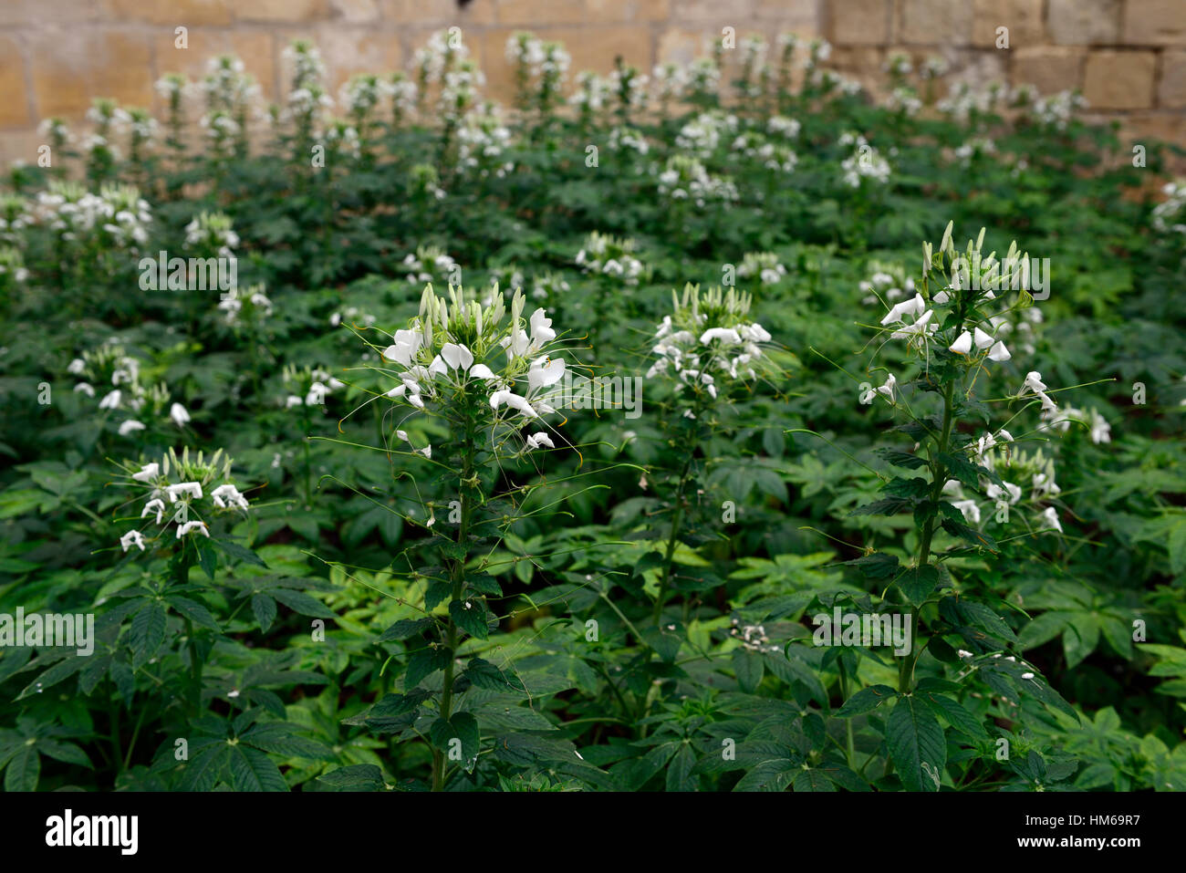 Cleome hassleriana syn spinosa white spider flower flowers flowering bed border display displays RM Floral - Stock Image
