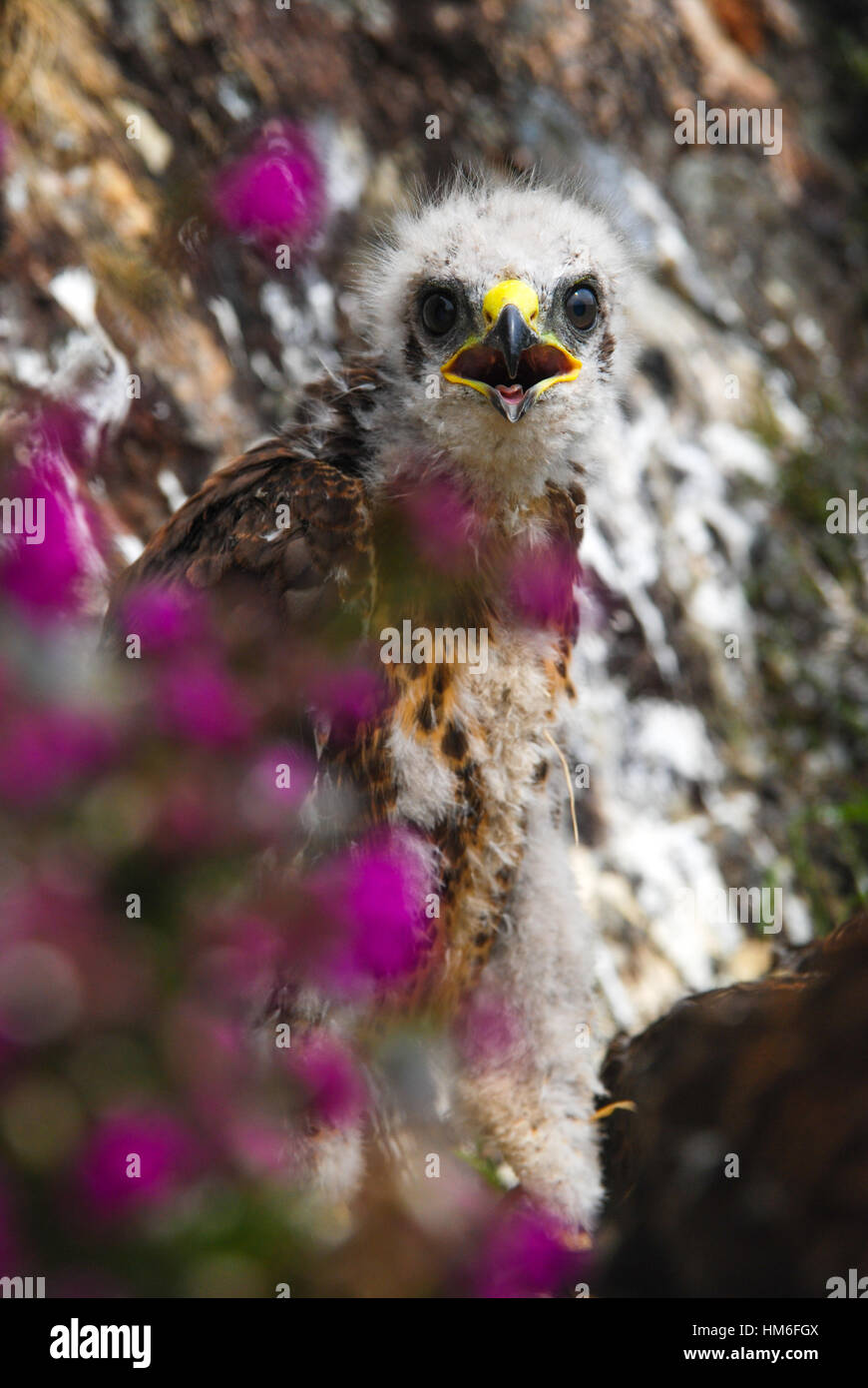 baby buzzard (buteo buteo) chick in nest with flowering purple bell heather (Erica cinerea) in the foreground, Isle - Stock Image