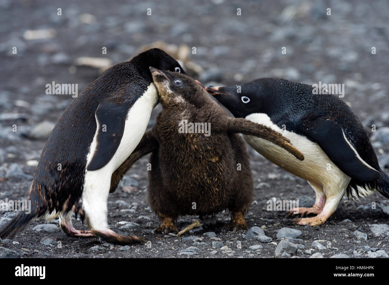 An Adelie Penguin feeding a large fluffy chick by regurgitating food. - Stock Image