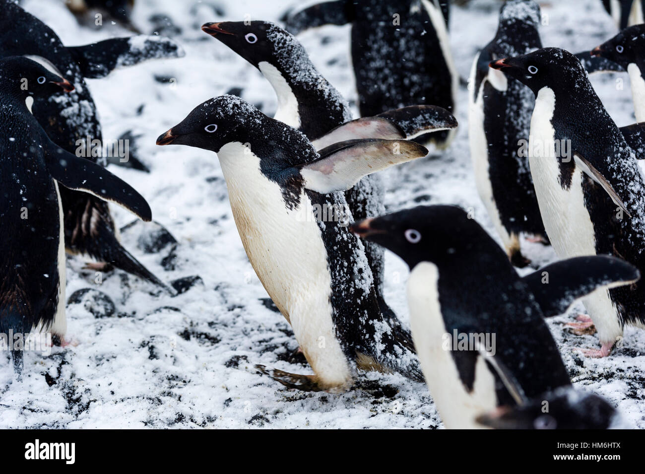 A breeding colony of Adelie Penguins during a snow storm on an island in Antarctica. - Stock Image