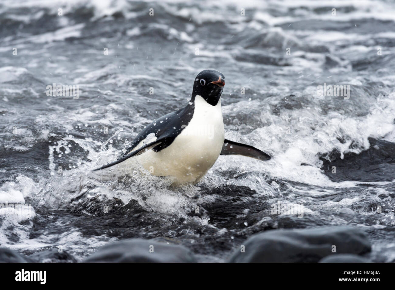An Adelie Penguin launches from the surf onto a rocky beach after feeding. - Stock Image