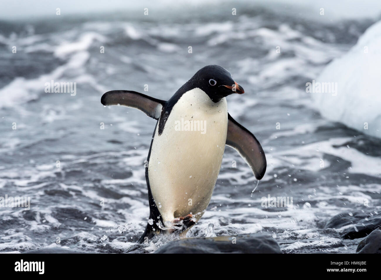 An Adelie Penguin marches from the surf onto a rocky beach after feeding. - Stock Image