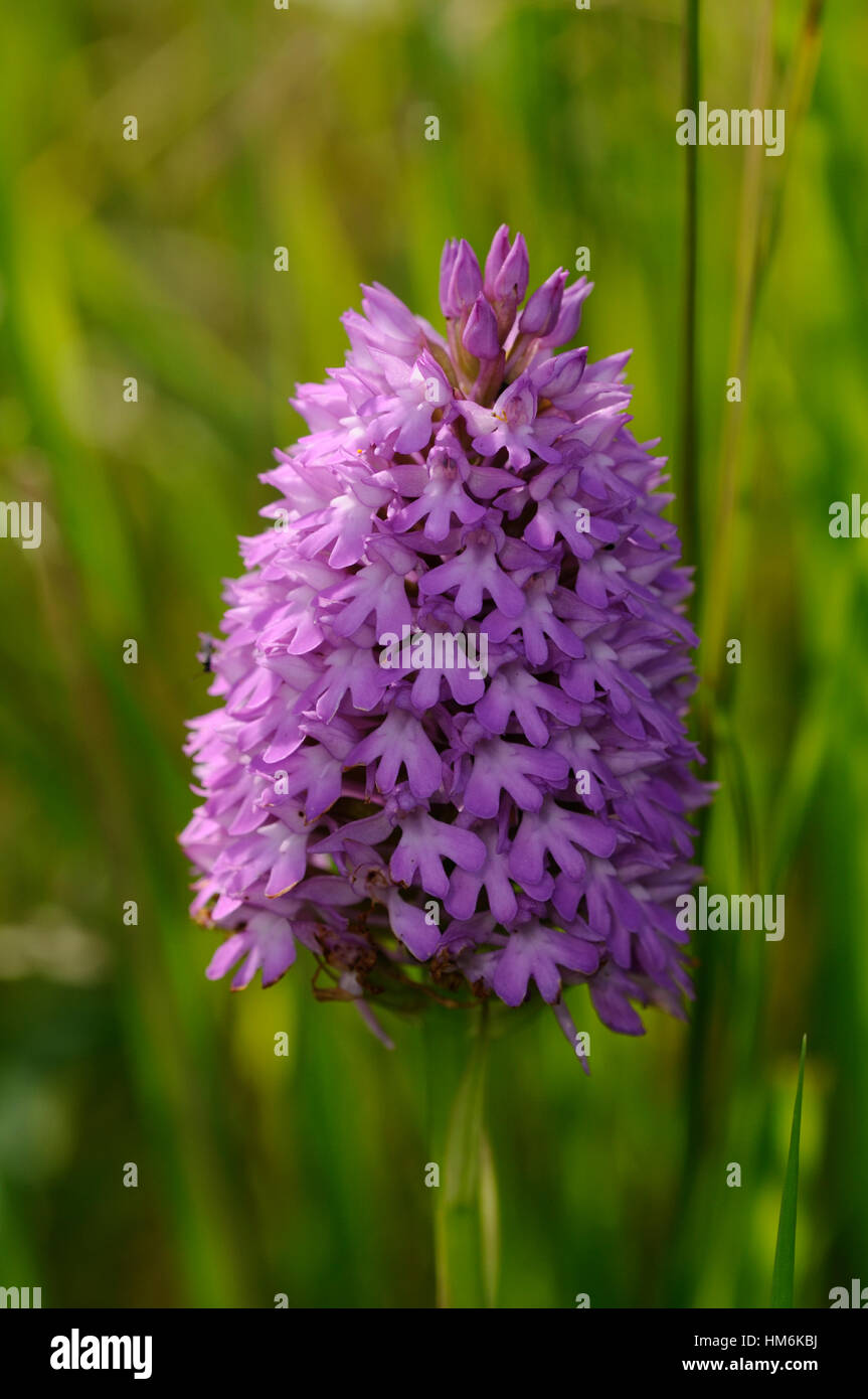 A close up of a flower spike of the Pyramidal Orchid ( Anacamptis pyramidalis ) - Stock Image