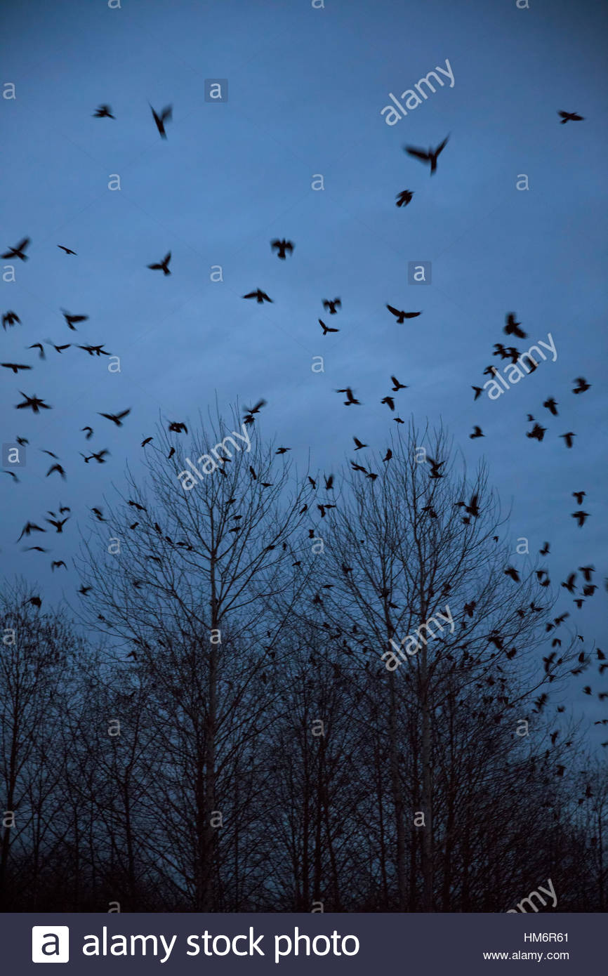 A murder of American crows (Corvus brachyrhynchos) flies low over the trees in wetlands in Bothell, Washington, - Stock Image
