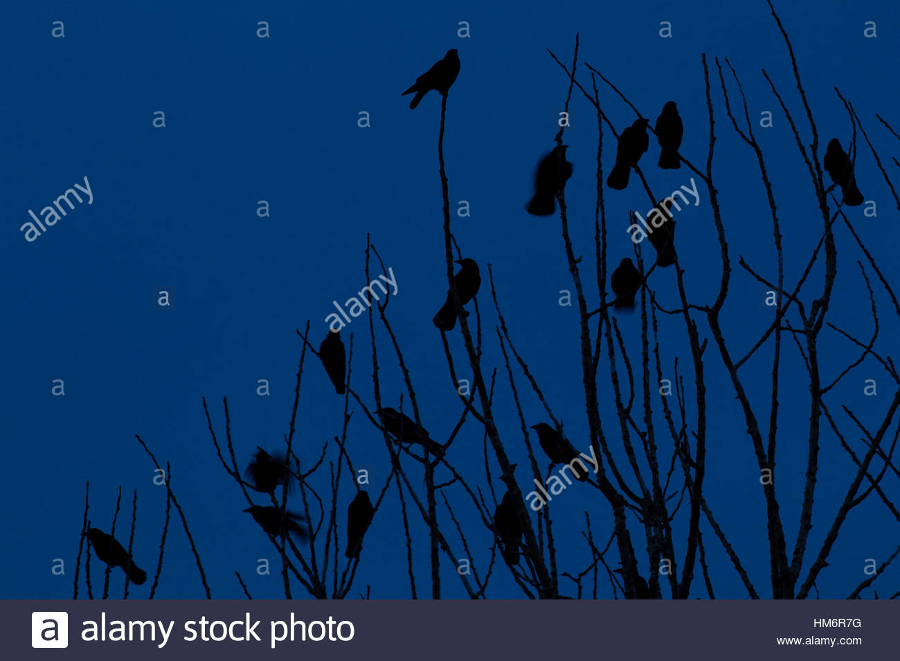 A murder of American crows (Corvus brachyrhynchos) roosts in a tree at twilight. - Stock Image