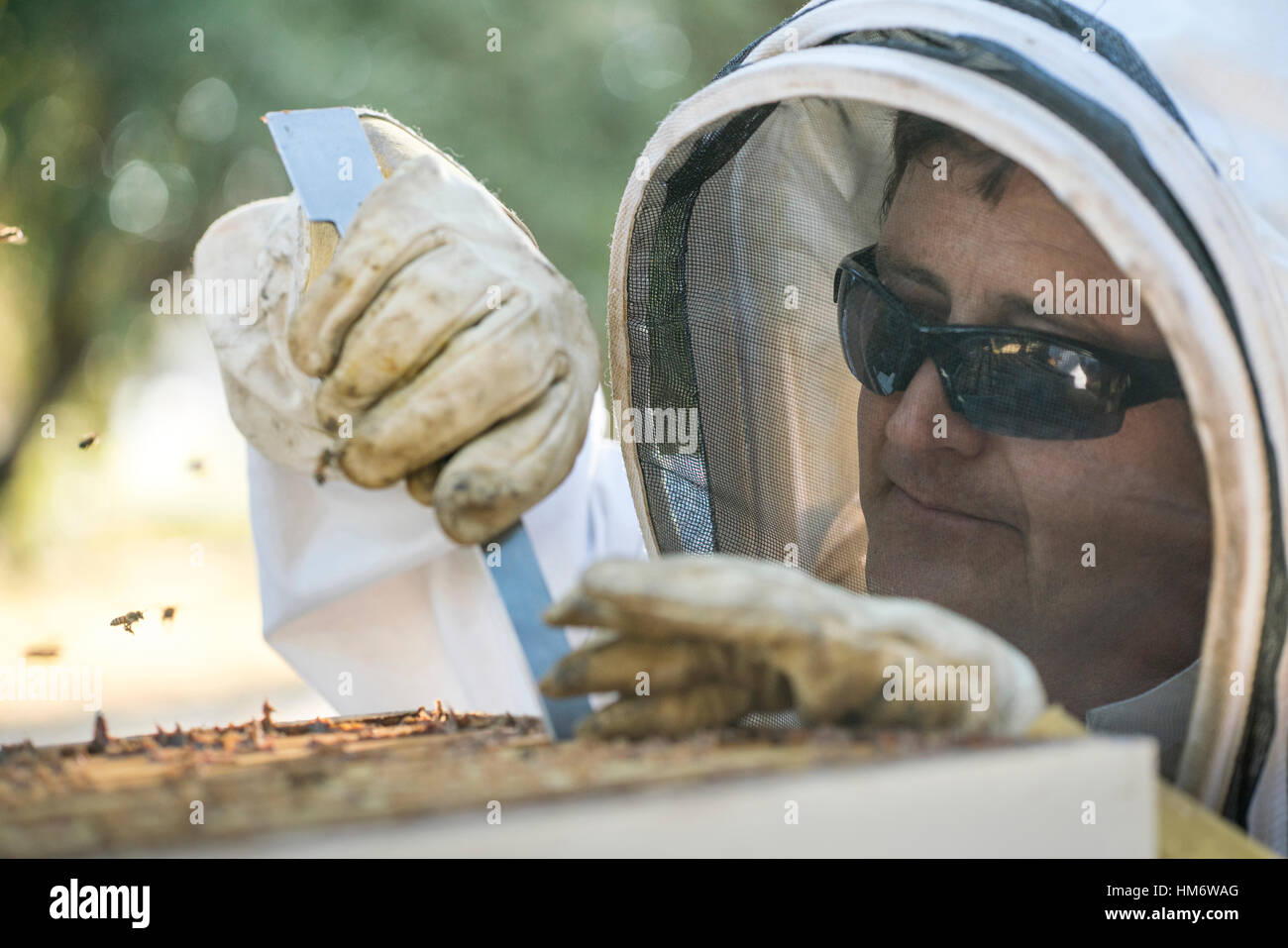 Beekeeper using hand tool for removing bees from beehive frame - Stock Image