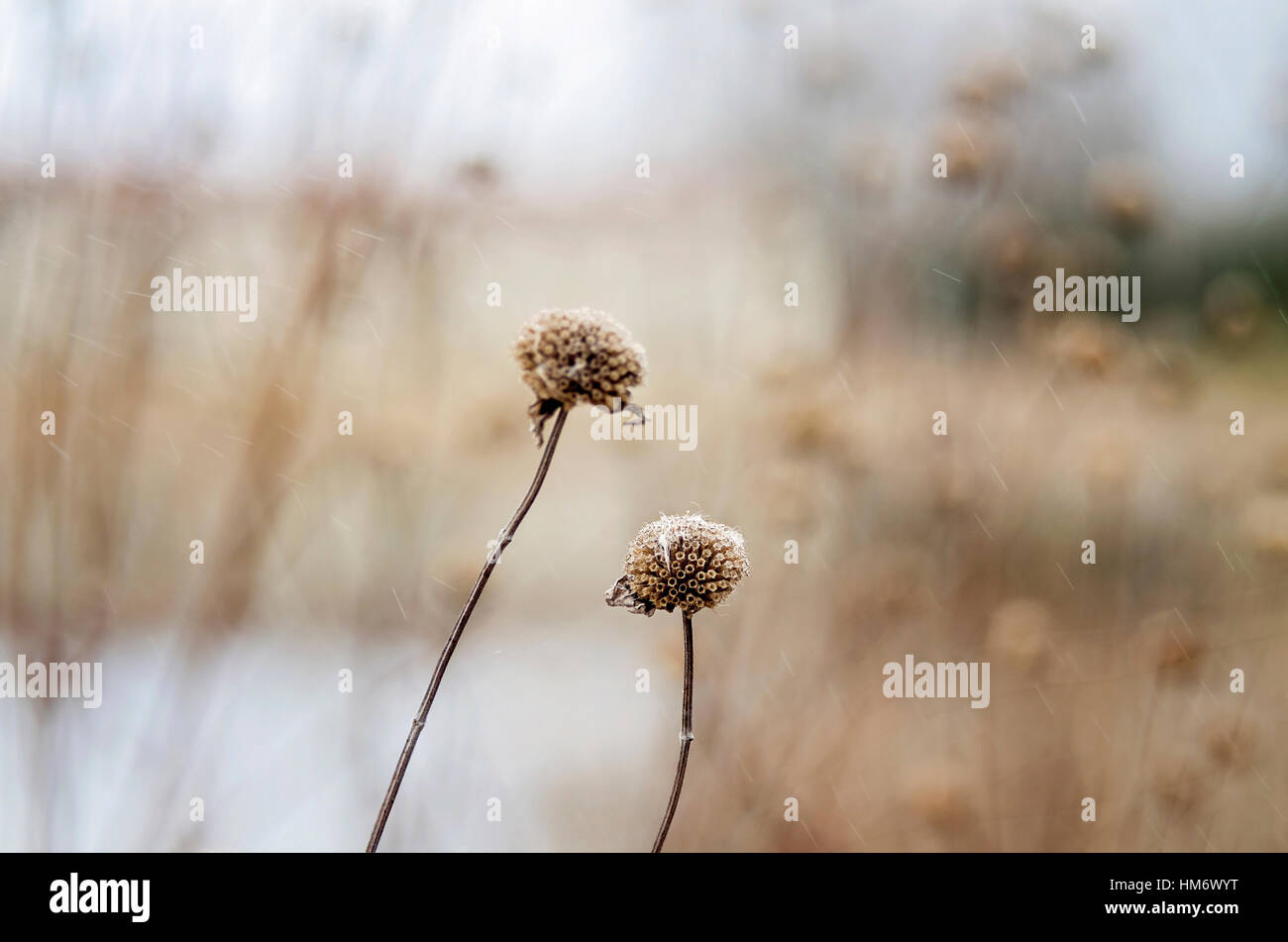 Close-up of dry flowers - Stock Image