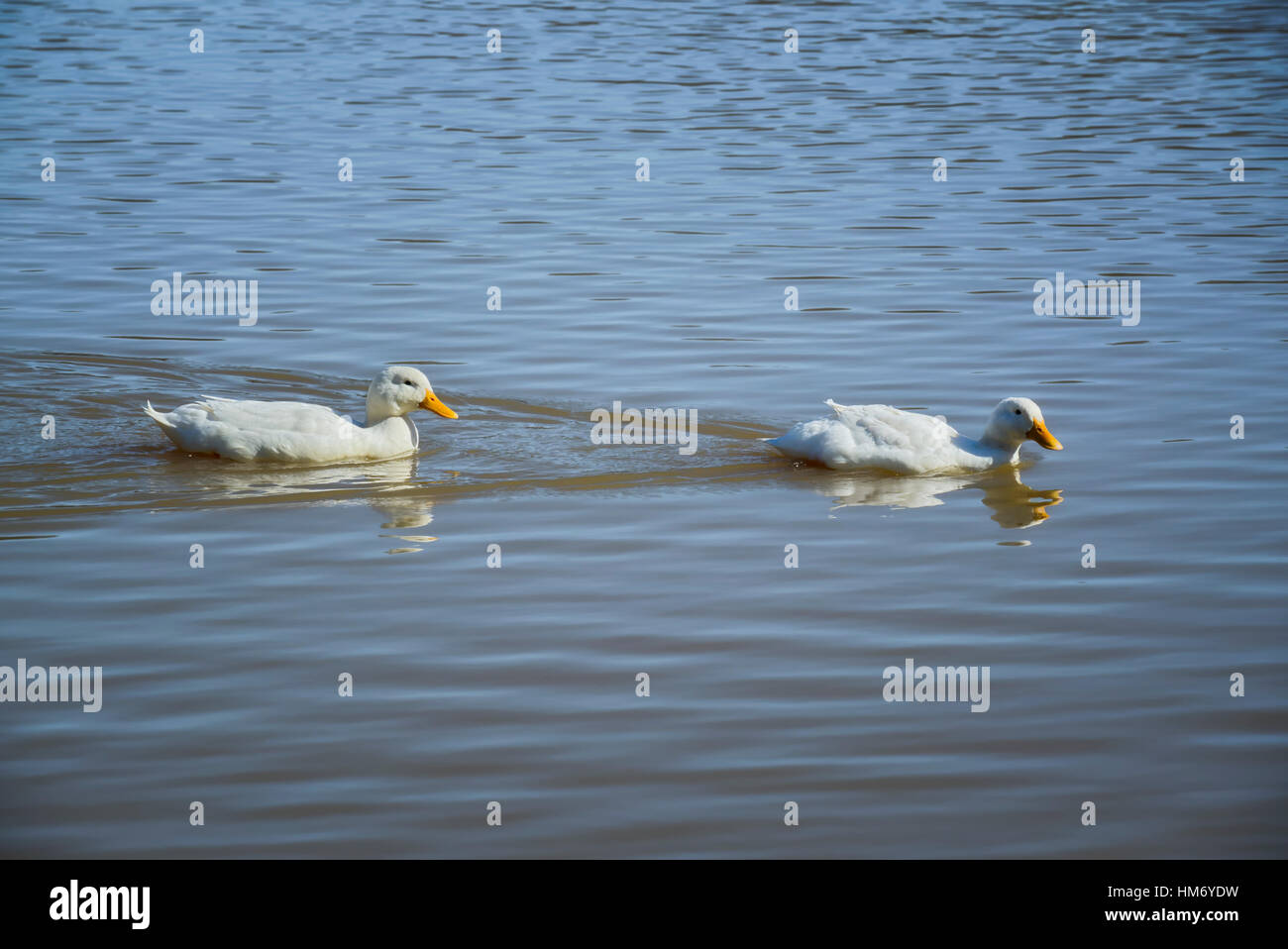 Two American Pekin ducks swimming in lake - Stock Image