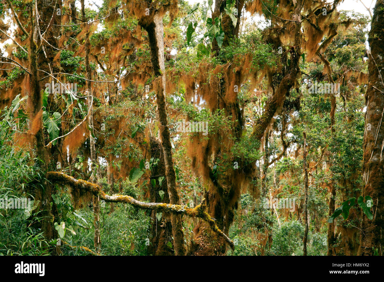 Orange liverworts on cloud forest branches. Chirripo National Park, Costa Rica. - Stock Image