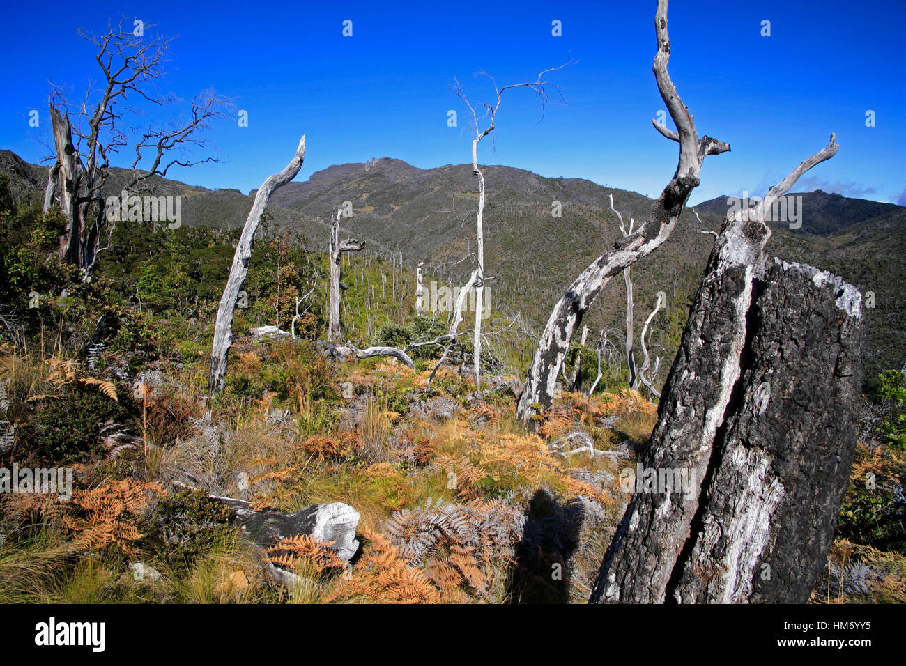 Forest Regeneration after Fire. Paramo and Crestones Rock Formation in background. Chirripo National Park, Costa - Stock Image