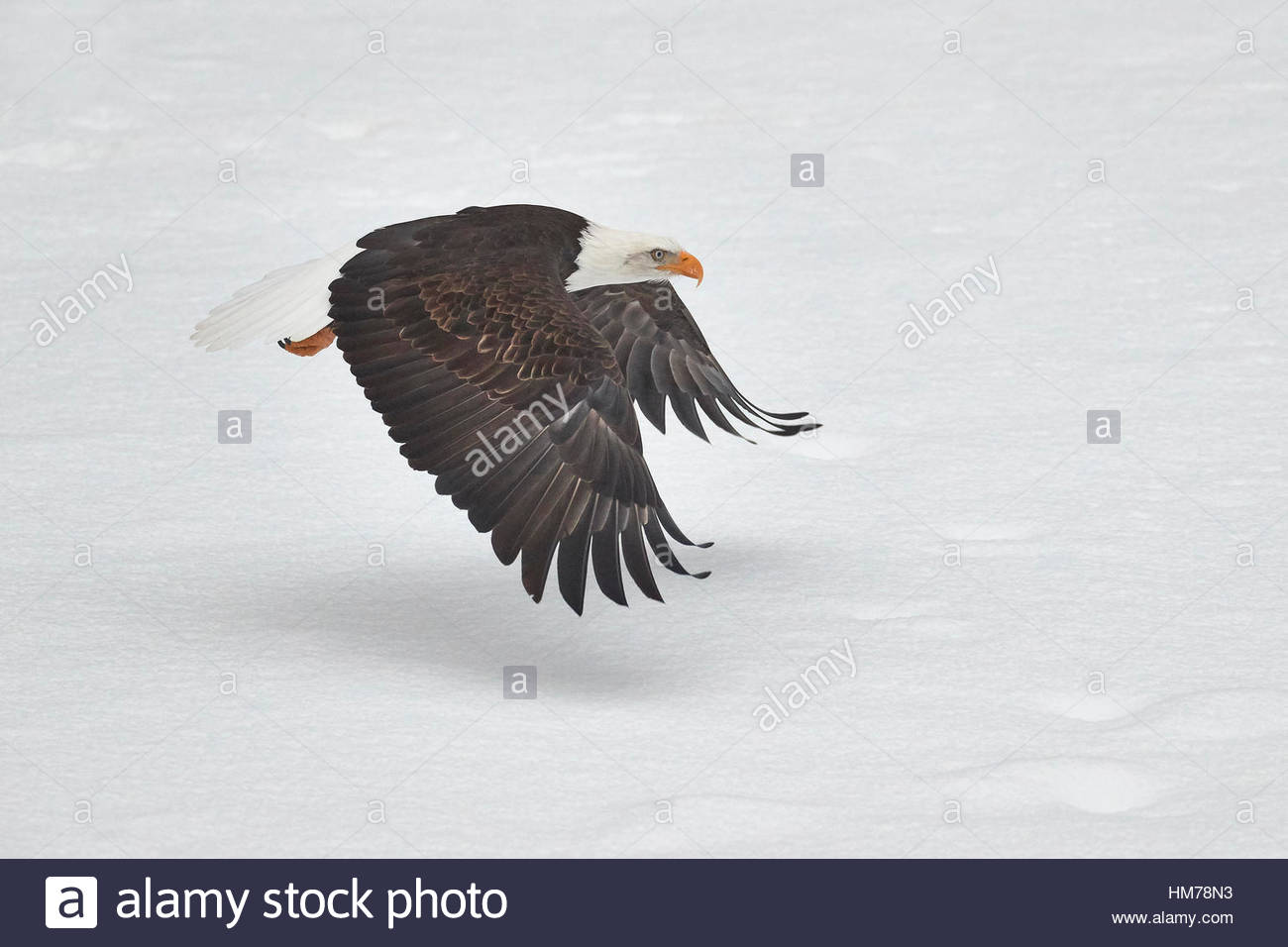 A bald eagle (Haliaeetus leucocephalus) flies low over a snow-covered gravel bar in the Nooksack River in Welcome, - Stock Image