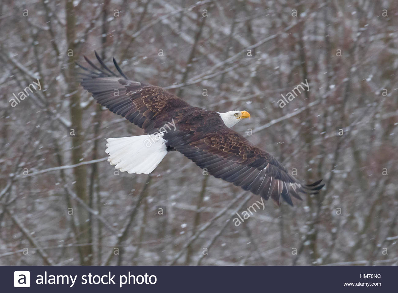 An adult bald eagle (Haliaeetus leucocephalus) flies over the Nooksack River near Welcome, Washington, during a - Stock Image
