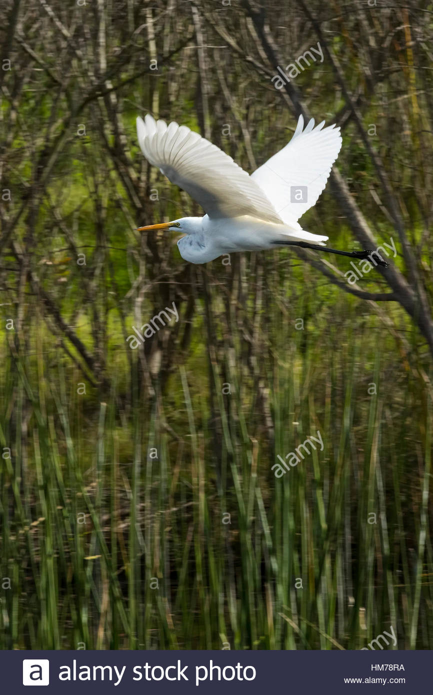 A great egret (Ardea alba) flies over the freshwater marsh of the Ballona Wetlands near Los Angeles, California. - Stock Image
