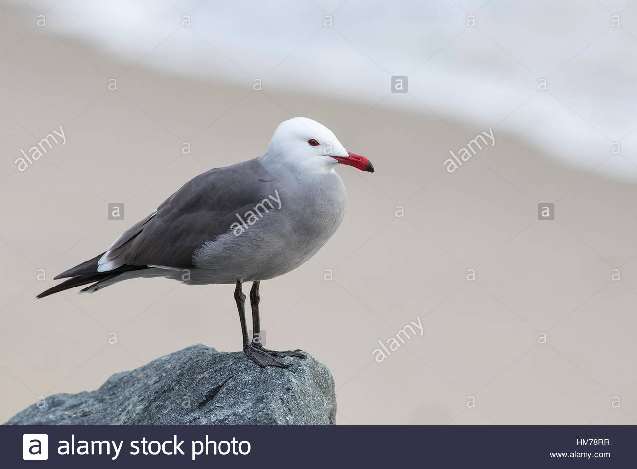 With a Pacific Ocean wave in the background, a Heermann's gull (Larus heermanni) rests on a rock overlooking - Stock Image