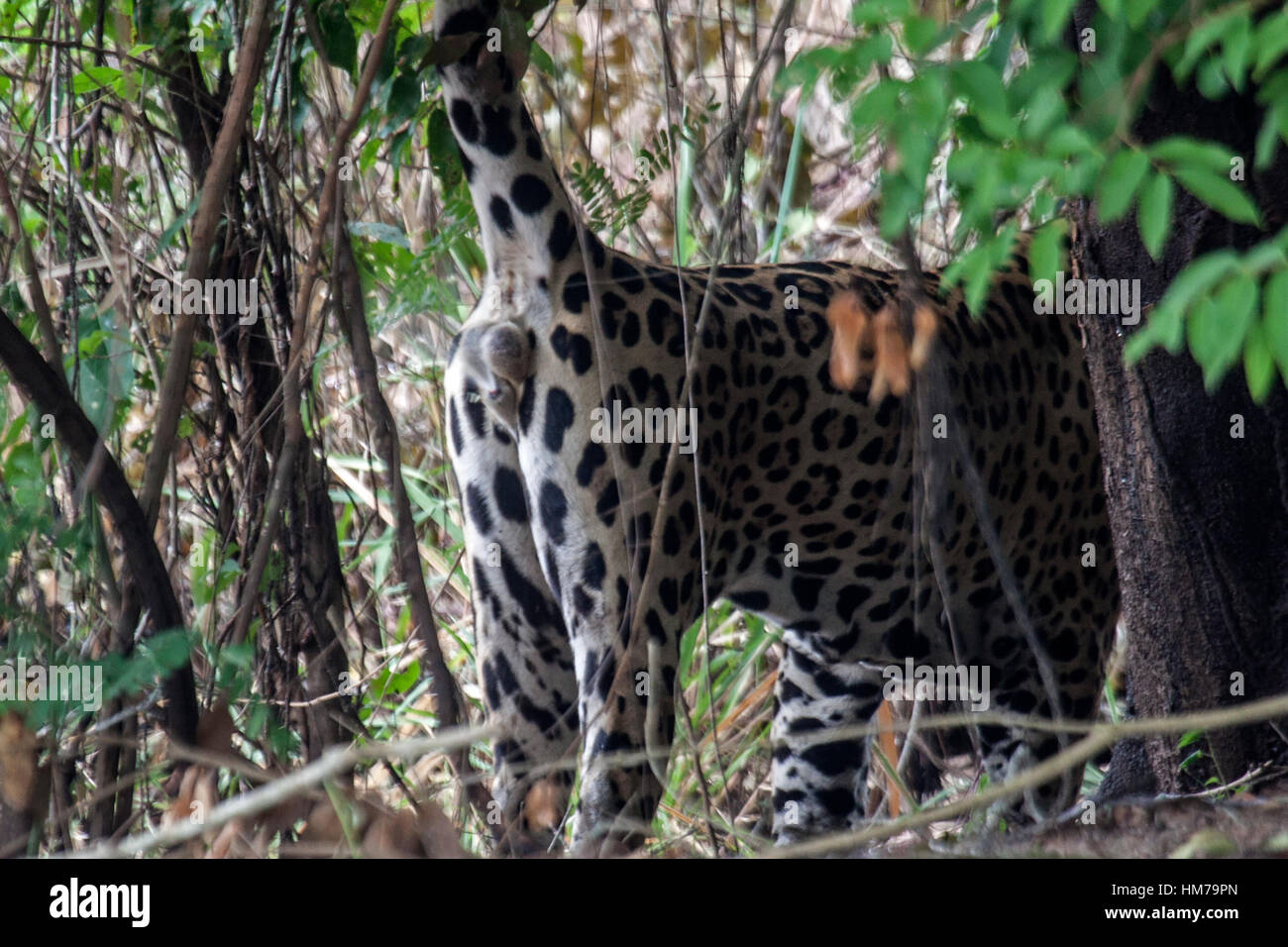 Jaguar spraying scent from its scent gland situated beneath its tail as it marks it territory in Brazil - Stock Image