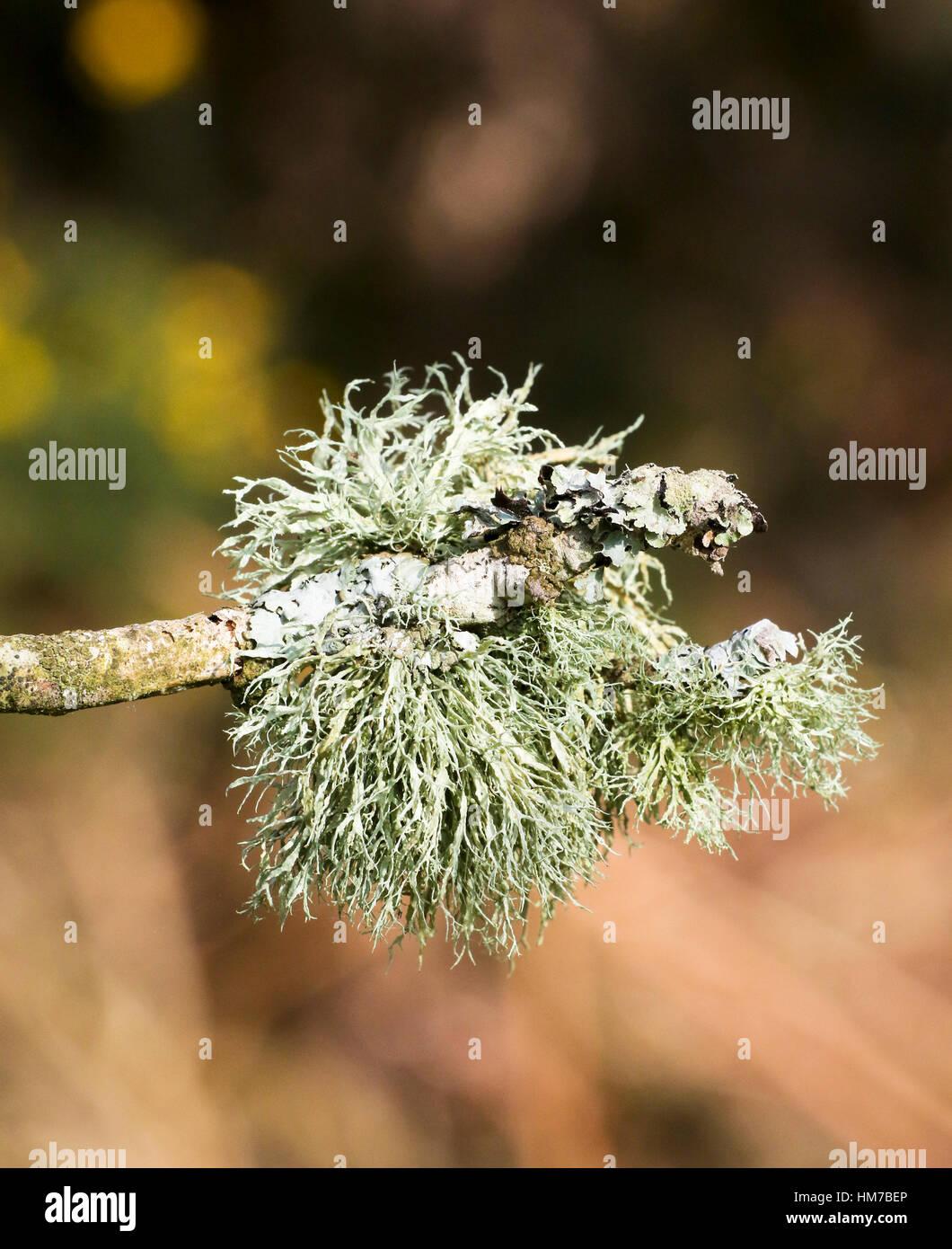 Reindeer Moss - Stock Image