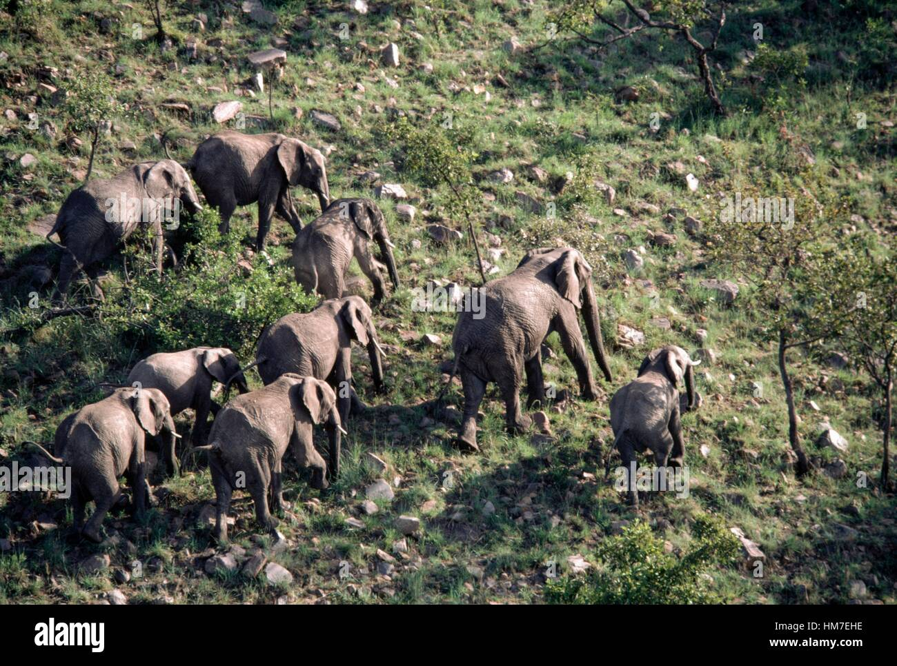 Elephants photographed during a balloon safaris, Masai Mara National Reserve, Kenya. - Stock Image