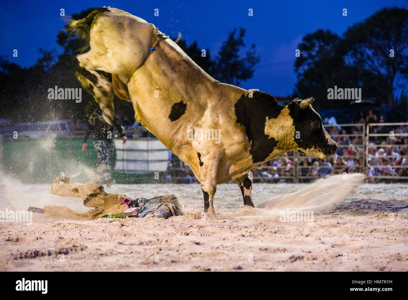 A rodeo bull attacks a scarecrow with it's hooves after losing a rider. - Stock Image