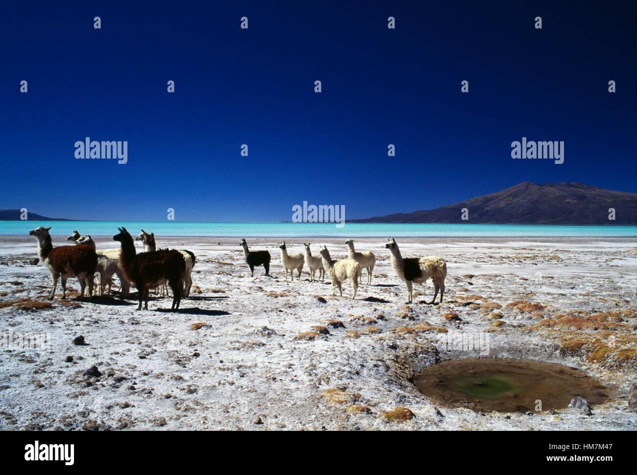 A herd of llamas (Lama glama), Coipasa lake, Bolivia. - Stock Image