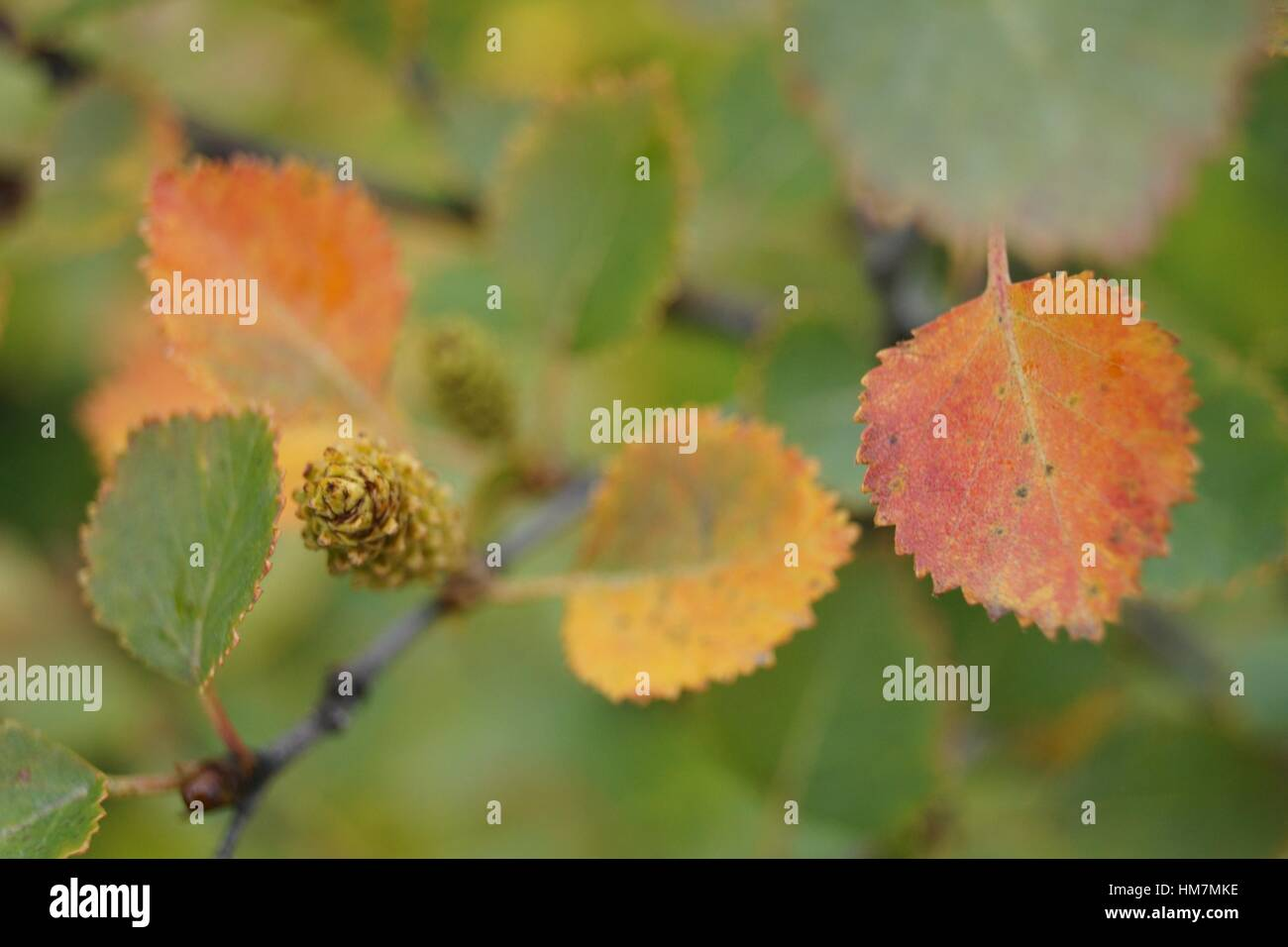 Icelandic birch leaves in autumn - Stock Image