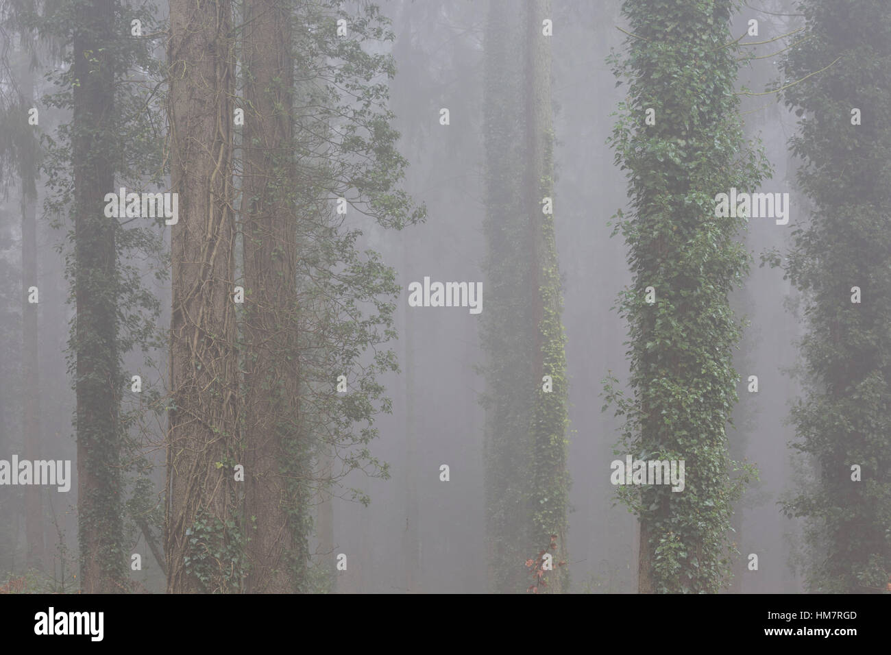 Misty conifer forest, Wye Valley, Wales - Stock Image
