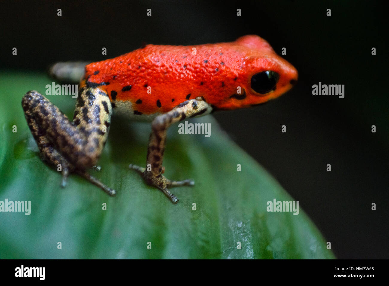 Strawberry Poison Frog (Dendrobates pumilio), adult, Bastimentos National Park, Bocas del Toro, Panama. The strawberry - Stock Image