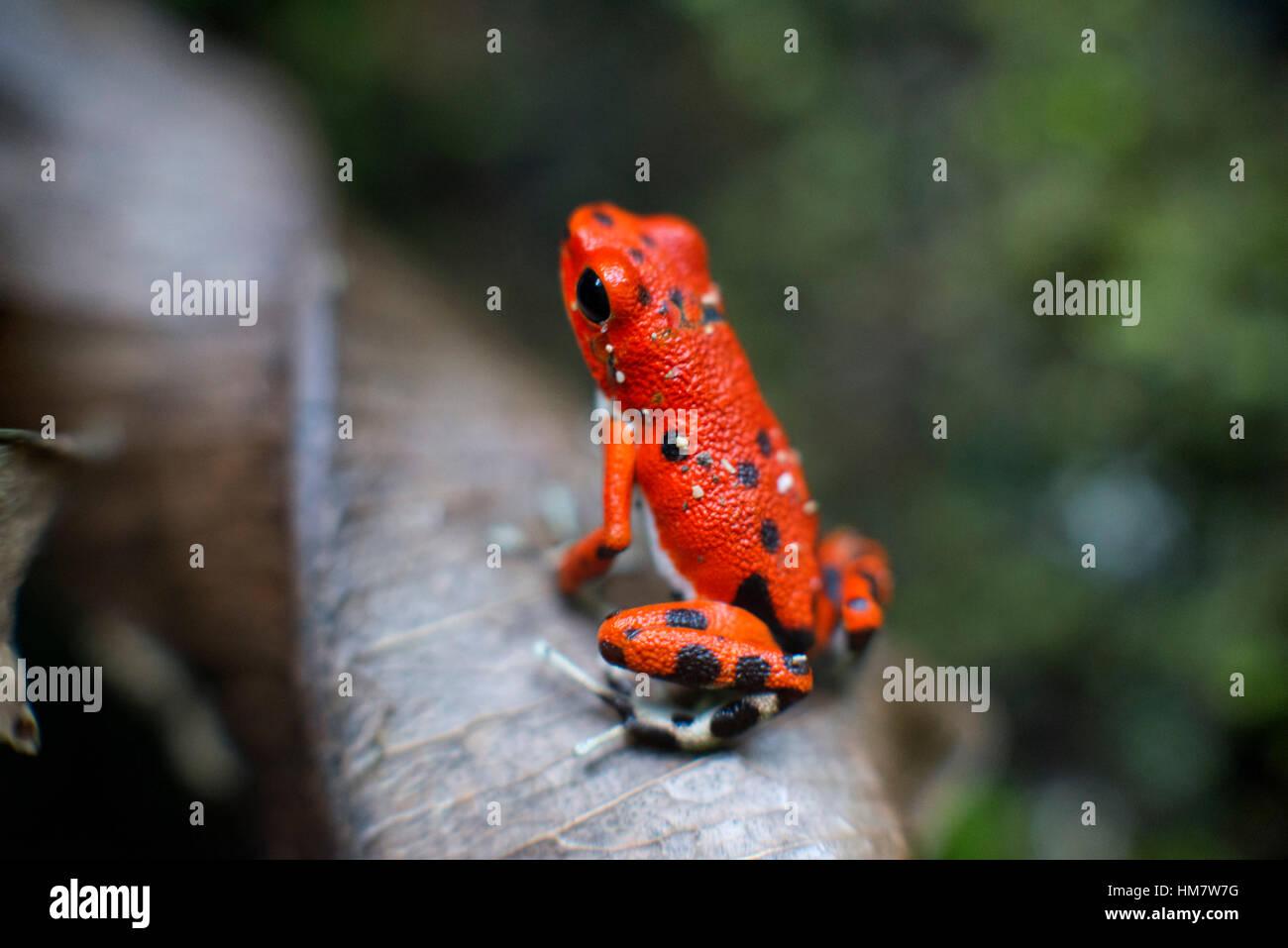 Strawberry Poison Frog (Dendrobates pumilio), adult, Bastimentos National Park, Bocas del Toro, Panama. The strawberry - Stock Image