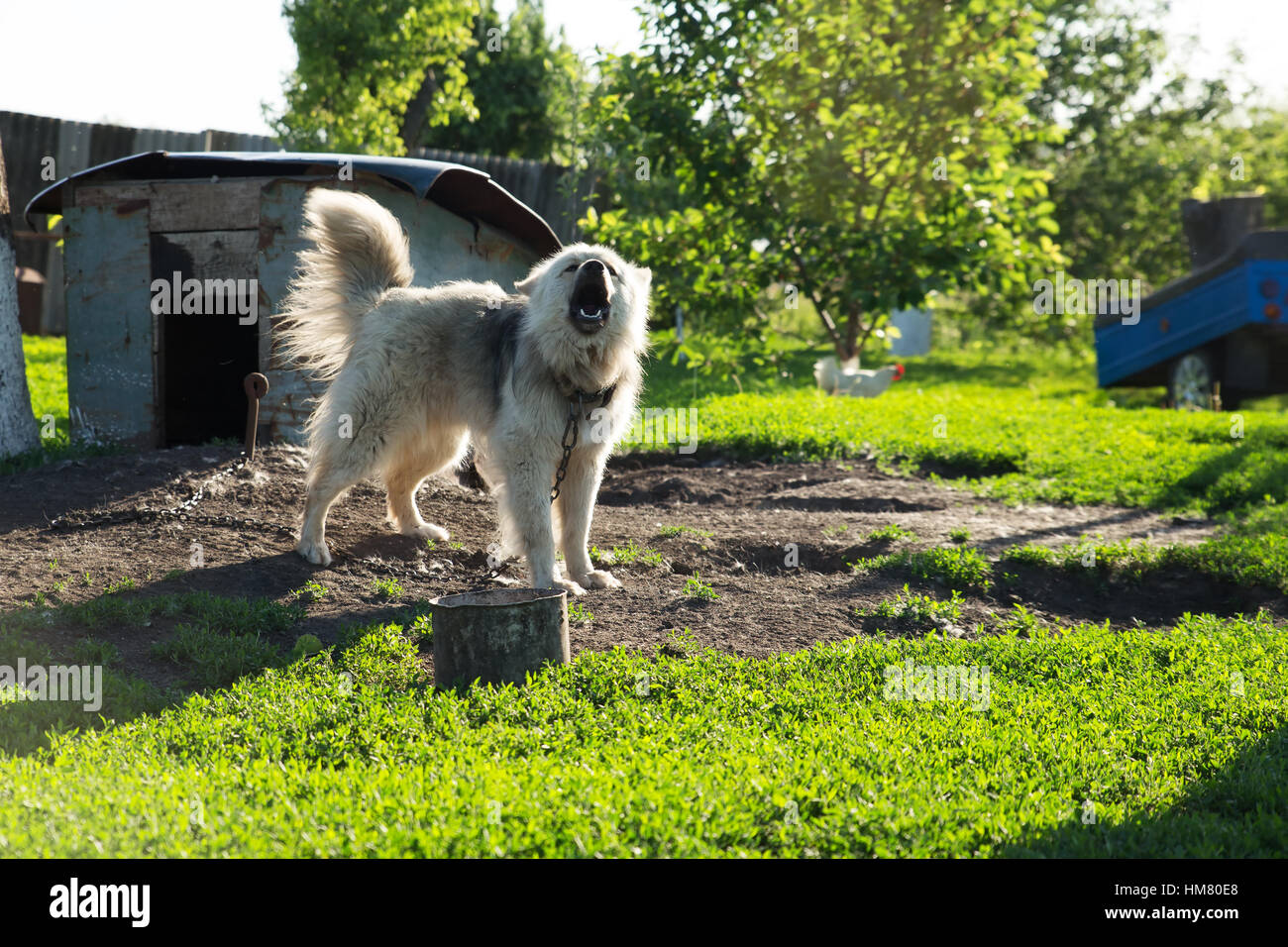 dog on  chain in the village summer barks - Stock Image