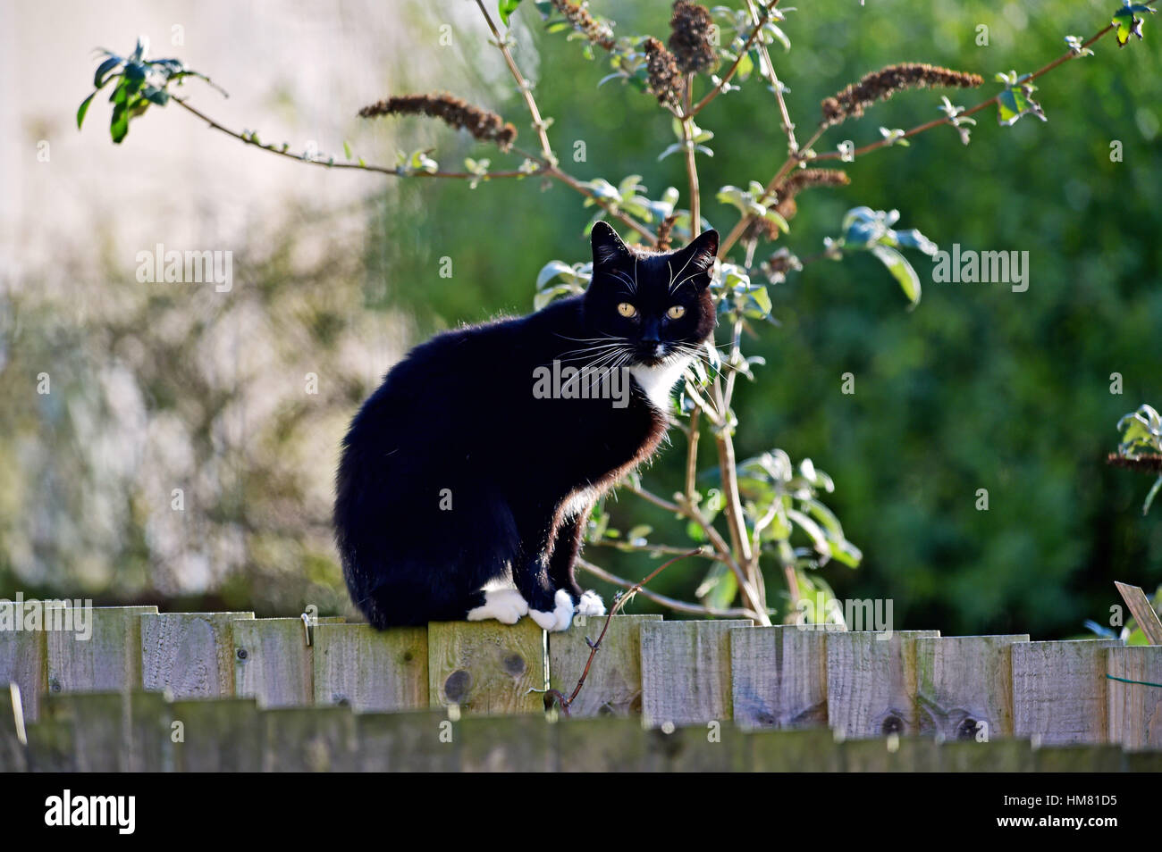 Black Cat With White Chest And Piercing Eyes Sits On A Garden