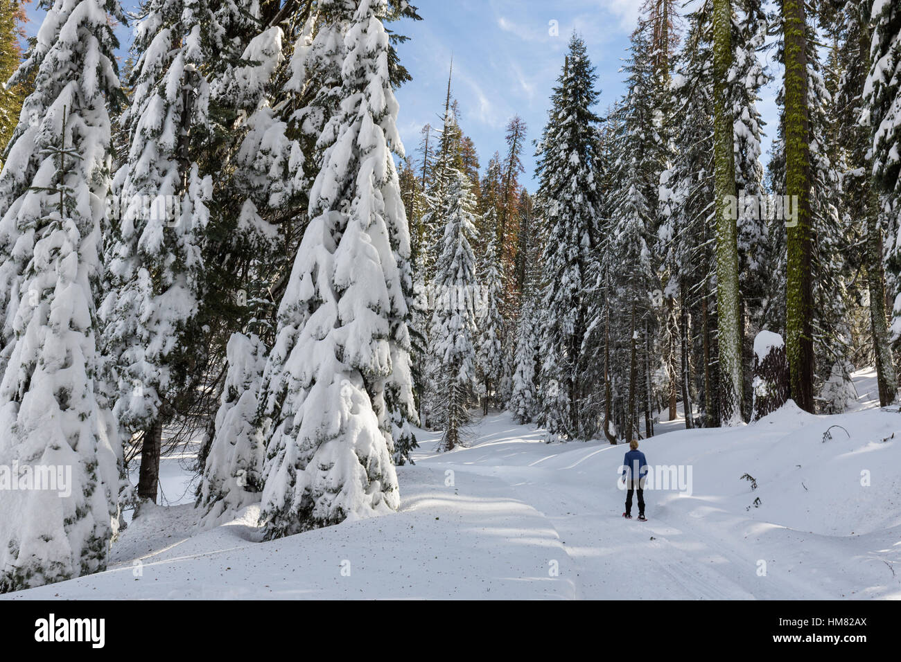 A woman snowshoes along a snow-covered winter trail in Kings Canyon National Park. Stock Photo